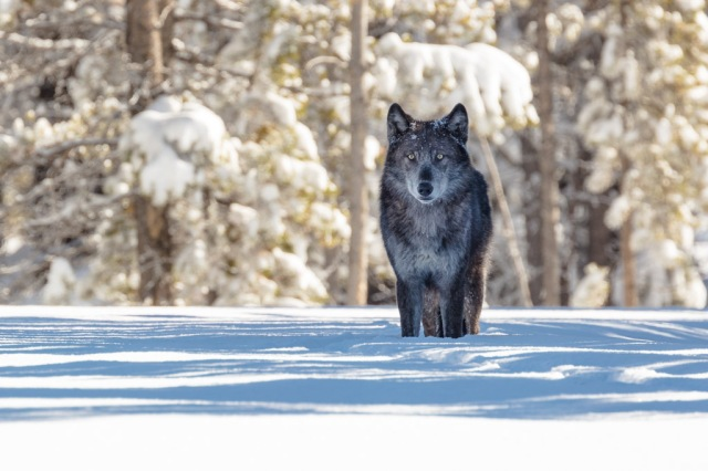 Wolf in Yellowstone National Park